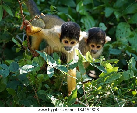 Two squirrel monkeys peeking through the bushes
