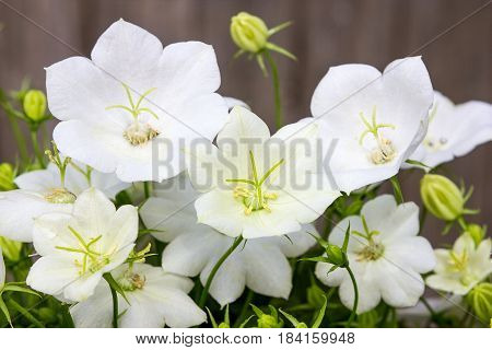 Closeup of beautiful white bellflower blossoms with wooden Background.