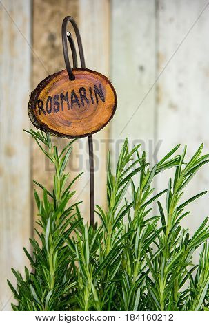 Plant with Rosemary with a wooden name sign as kitchen herb.