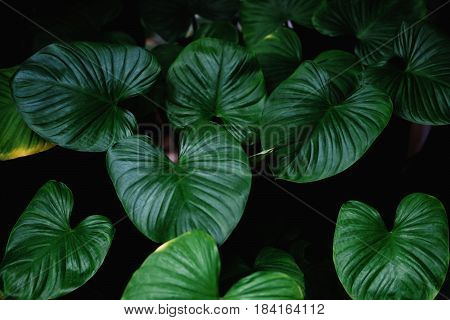 Low key, Green leaves of tropical plant growing in wild, the tropical forest plant