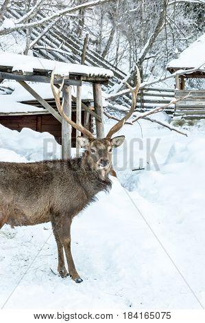 Deer at zoo in winter park .