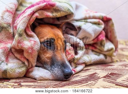 Smooth Fox Terrier dog on couch under blanket and looking sad lonely.