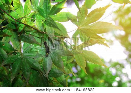 Worm on Japanese maple leaves with morning light at Ryoanji templeKyotoJapan