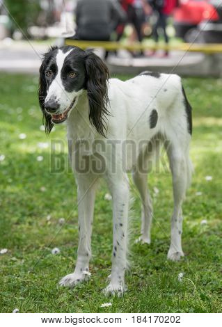 Taigan is a member of the family of Eastern Sighthounds. The Taigan is a very rare dog breed reported about 300 worldwide.