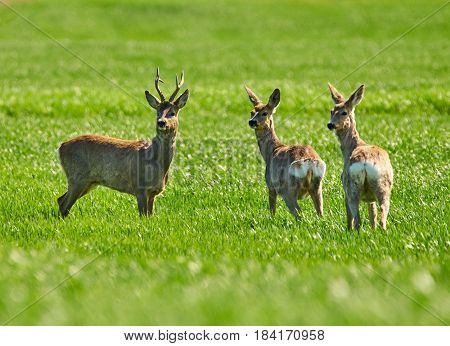 Roe Buck And Deer Family