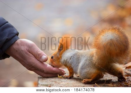 Squirrel eating nuts from man hand and autumn leaves on background