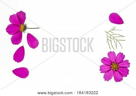lilac cosmos flowers isolated on white background