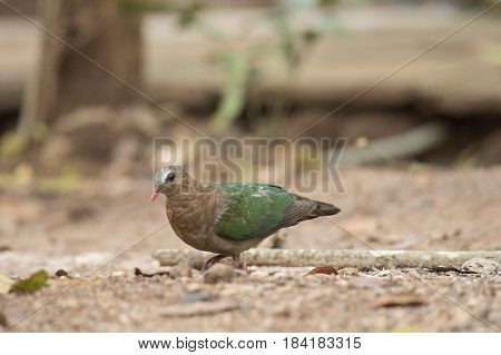 Emerald Dove Current conditions protected wildlife, Natural background