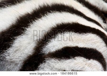 A close-up shot of the fur of a baby plains zebra (Equus burchelli)
