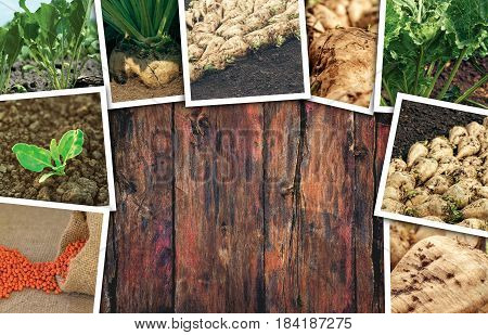 Sugar beet farming in agriculture photo collage on wooden background as copy space