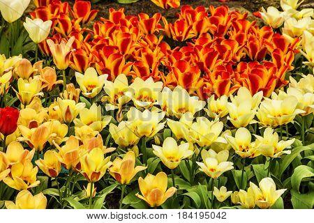 tulips flowerbed Holland park Keukenhof, Holland, Netherlands