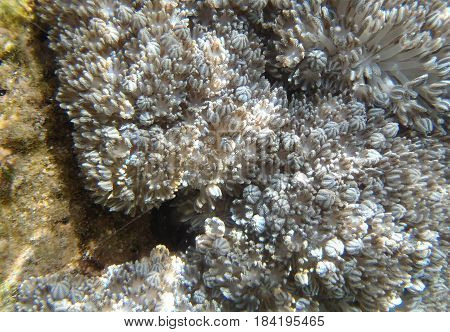Pale pulse soft coral (Heteroxenia ghardaquensis Gohar) in the Red Sea Egypt