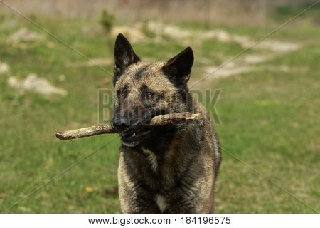German Shepgerd close-up with a stick in it's mouth