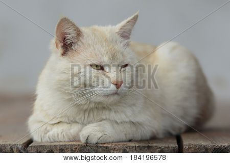 Light reddish cat lies on wooden boards and rests