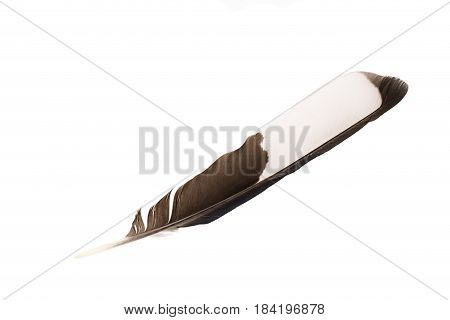 Single black and white feather isolated on white background