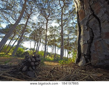 Pine cone by a trunk seen from the ground