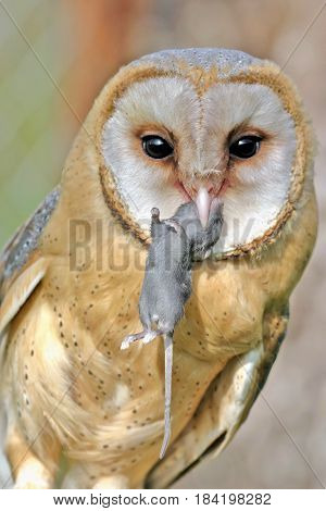 Barn Owl holding mouse in beak, portrait close up.
