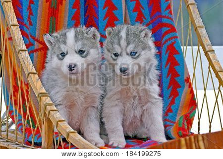 Two six week old Siberian Husky puppies sitting together in dogsled