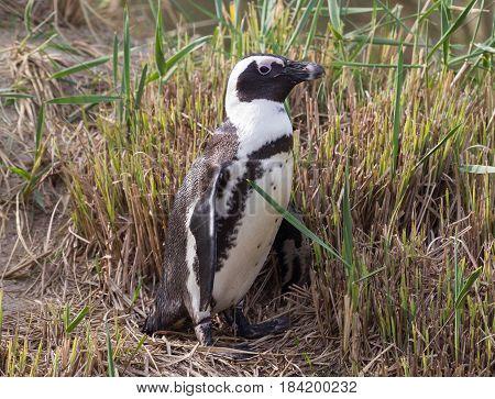 African Penguin, Spheniscus Demersus