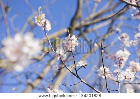 The tree is in bloom similar to the bride before a wedding