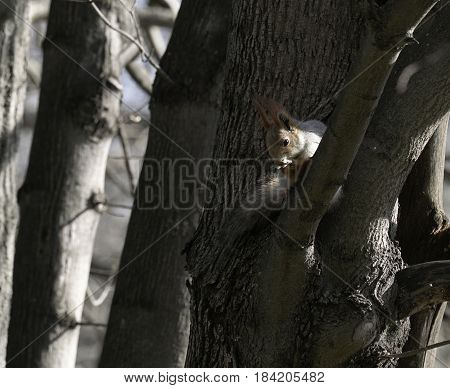 Squirrel in the natural habitat. The squirrel quickly climbs trees finds food and eats it. Sunny spring day in the forest.