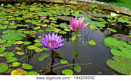 Lotus beautiful pink flower which is a symbol of wisdom and zhizhni, a flower on the water surface opens its own world for the spiritualization of every wanderer