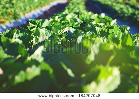 agricultural green field in Thailand. Eating Healthy fruit. Strawberry garden at winter season.