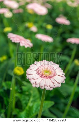 Pale pink flowering Gerbera bloom with a yellow heart between other budding and flowering Gerbera plants in a Dutch cut flower nursery.