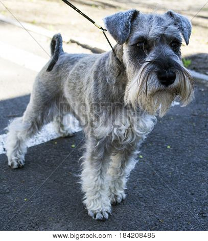 Miniature Schnauzer dog. Portrait of a young miniature schnauzer on lawn