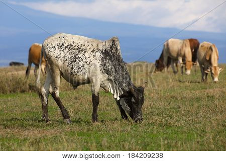 A herd of Boran cattle grazing on green grass in Kenya. Ol Pejeta Conservancy.