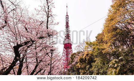 Tokyo tower with sakura foreground in spring time at Tokyo