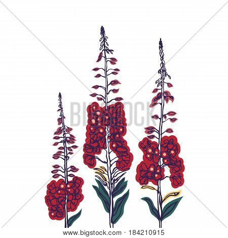 Fireweed. Wildflowers. Collection of herbs in blossoming condition. Traditional Russian drink, tea. Herbal medicine. Vector illustration.