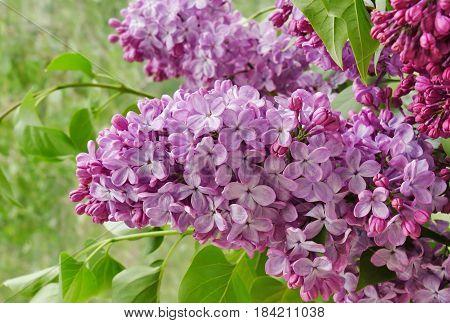 Lilac flowers (Syringa vulgaris) blooming on lilac tree