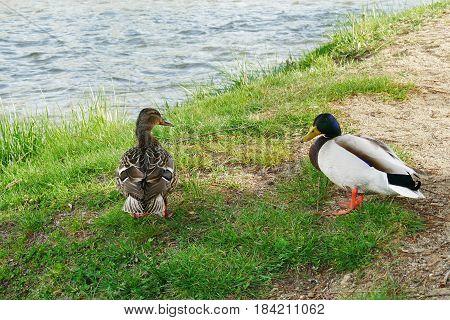 Mallard duck pair resting near the river