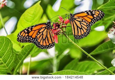 Pareja de mariposas de la especie Monarca, posadas sobre una flor