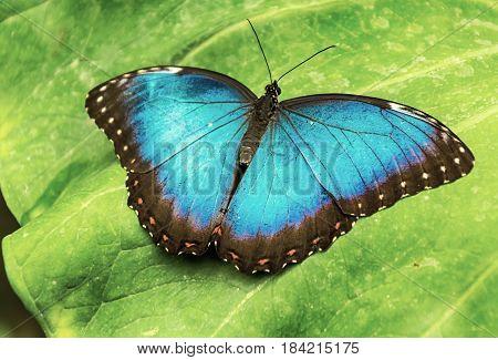 Mariposa de la especie Morpho Peleides, sobre una gran hoja.