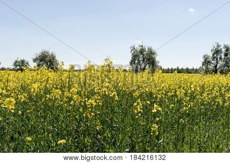 Blooming raps field with trees in the background