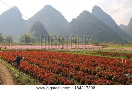 Karst mountain flower bed landscape in Yangshou China