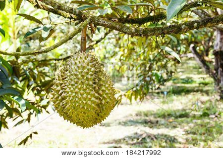 Mon Thong or Golden Pillow durian king of tropical fruit on its tree branch in the orchard