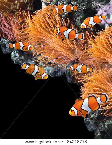 Sea anemone and clown fish in marine aquarium. On black background with copy space
