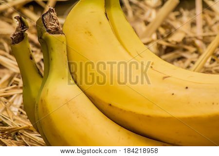 Organic bananas (latin: musa) a product of eco agriculture are important part of not only vegan's and vegetarian's diet but are healthy for all people containing vitamin B-6, manganese, vitamin C, copper, fiber, potassium. Banana fruits on natural straw b