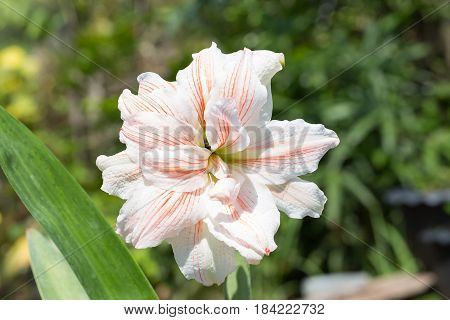 Magnificent double flower with white petals with red stripes blooming hippeastrum Nymph