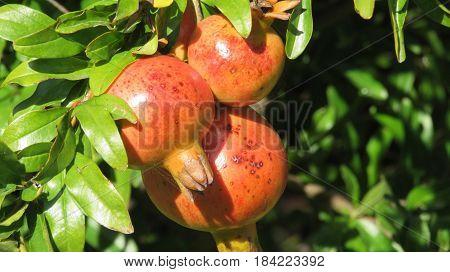 A trio of ripe orange pomegranates on the tree.