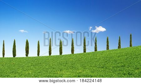 cypress trees in a row on a green hill in Tuscany