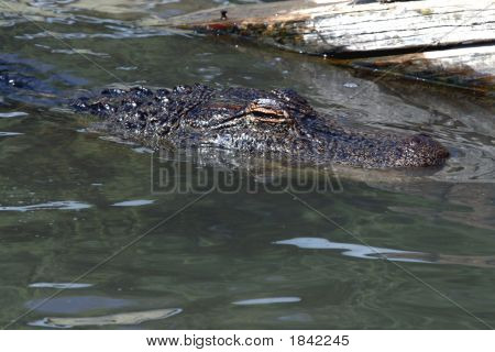 Alligator swimming in water close-up showing eye poster