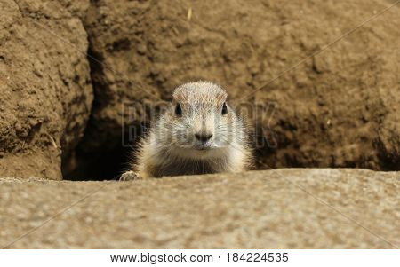 A Black-tailed prairie dog come out from the resident ground hole.
