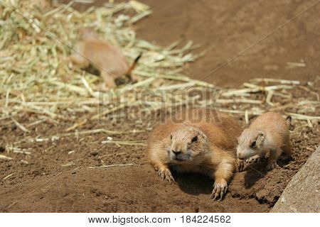 Two Black-tailed prairie dog Mom and baby are looking for meal