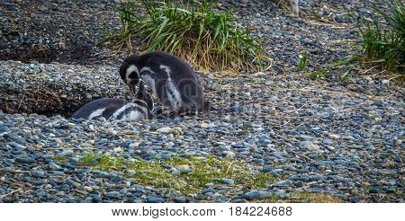 Nesting penguin on the gravel of Tierra del Fuego