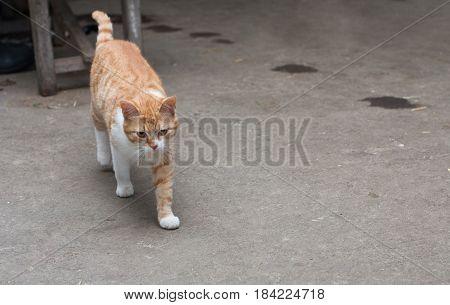 Red cat is walking in stable, indoor photo.