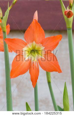 Hippeastrum Johnsonii Bury Flowers